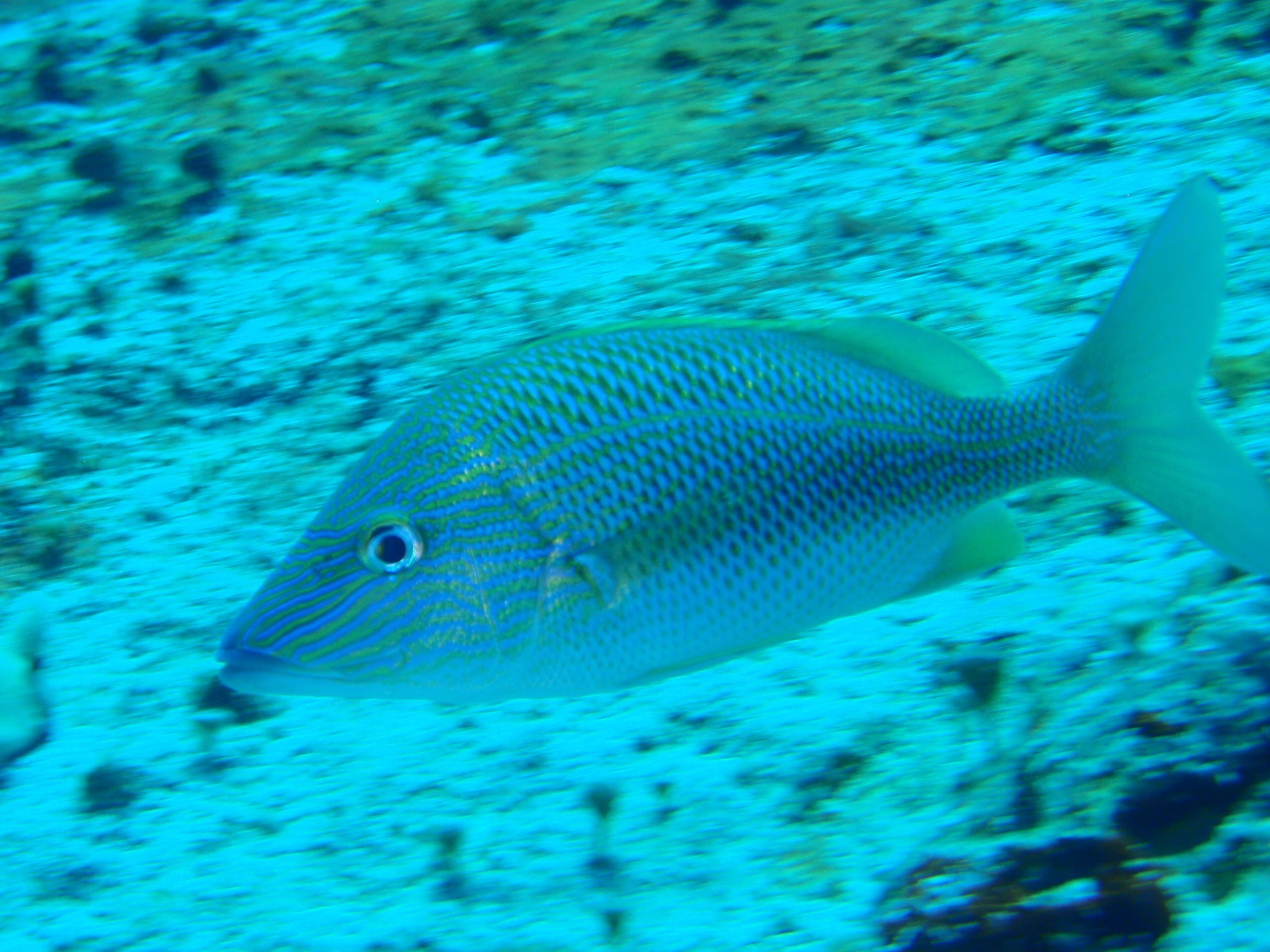 Grunt fishmount for Global fish mounts
